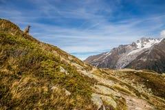 停留在陡峭的小山阿尔卑斯,法国的逗人喜爱的羚羊 图库摄影