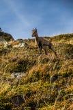 停留在陡峭的小山阿尔卑斯,法国的逗人喜爱的羚羊 免版税库存图片