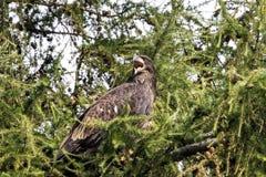 φαλακρός αετός ανώριμος Στοκ Εικόνες