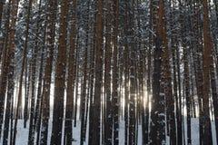 神秘的杉木树森林在乌拉尔 免版税库存图片