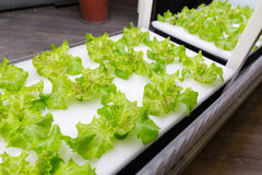 Ферма овоща гидропоники Стоковые Изображения RF
