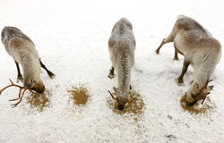 Τρεις τάρανδοι Στοκ φωτογραφία με δικαίωμα ελεύθερης χρήσης