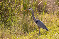 偷偷靠近它的牺牲者的伟大蓝色的苍鹭的巢在清早 免版税库存图片
