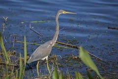 偷偷靠近它的牺牲者的伟大蓝色的苍鹭的巢在佛罗里达池塘的边缘 库存照片
