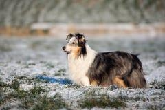 户外粗砺的大牧羊犬狗在冬天 库存照片