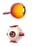 解剖学眼睛 库存照片