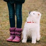 白色萨莫耶特人小狗室外在公园 库存图片