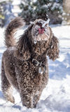 Собака с языком вне для того чтобы уловить снег Стоковая Фотография