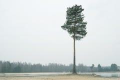 偏僻的杉树 库存照片