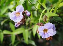 月桂树时钟藤美丽的蓝色紫色软的好的花  库存照片