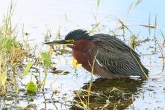 偷偷靠近它的牺牲者-佛罗里达的绿色苍鹭 库存图片