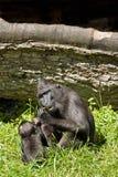 猕猴属老黑 免版税图库摄影