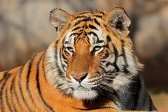 孟加拉印度国家公园照片纵向射击了被采取的老虎 免版税图库摄影