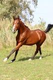 疾驰在夏天牧场地的美丽的阿拉伯公马 免版税库存图片