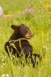 婴孩美国黑熊 库存照片