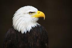 白头鹰朝向 免版税库存照片