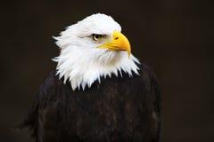 облыселый возглавленный орел Стоковая Фотография