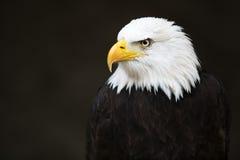 白头鹰朝向 免版税库存图片