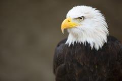 白头鹰朝向 免版税图库摄影