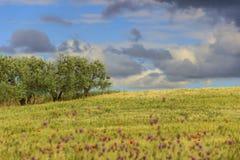 农村风景春天 在普利亚和巴斯利卡塔之间:橄榄树小树林在有鸦片的玉米田 意大利 免版税库存照片