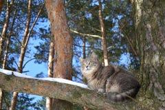 Η γκρίζα γάτα Στοκ Εικόνες