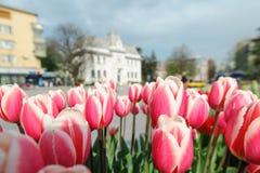 Красные тюльпаны в городе Стоковая Фотография