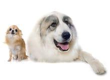 比利牛斯山脉的山狗和奇瓦瓦狗 免版税库存图片