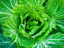 Экологическая большая свежая предпосылка капусты Стоковые Фотографии RF