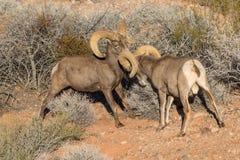沙漠大角野绵羊公羊战斗 免版税库存照片