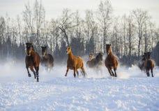 跑在雪的马牧群  免版税库存图片