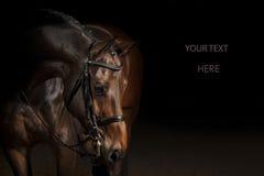 Πορτρέτο ενός αλόγου αθλητικής εκπαίδευσης αλόγου σε περιστροφές Στοκ Εικόνες