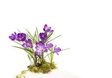 被隔绝的蓝色紫罗兰色春天花 番红花 免版税库存照片