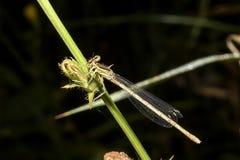 在植物的茎的蜻蜓 免版税库存照片