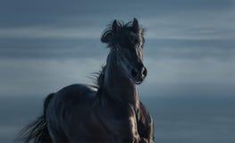 纯净的养殖的西班牙黑公马-在行动的画象 免版税库存图片