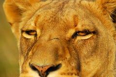 注视狮子 免版税库存照片