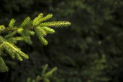 在杉树分支的阳光 库存图片