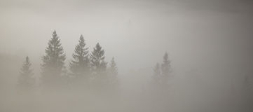 在雾的冷杉木 免版税库存照片
