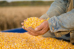 玉米种子在手中农夫 免版税库存照片
