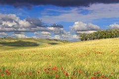 农村风景春天 在普利亚和巴斯利卡塔之间:橄榄树小树林在有鸦片的玉米田 意大利 免版税库存图片