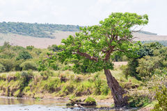 在河岸的树 库存图片