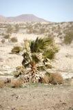 莫哈韦沙漠丝兰 库存图片