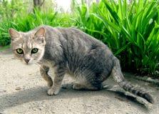 Серый кот с большими зелеными глазами Стоковые Фотографии RF