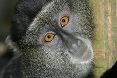 голубая обезьяна Стоковые Фотографии RF