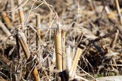 草料玉米发茬特写镜头在土壤上根源 免版税库存照片