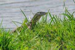在绿草中的监控蜥蜴 库存照片