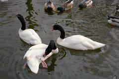 黑收缩鹅和鸭子漂浮 免版税库存图片
