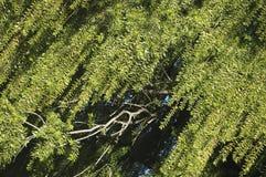 结构树杨柳 免版税库存照片