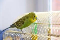 Зеленый волнистый попугайчик на клетке _ Стоковая Фотография RF