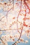Όμορφη άσπρη ημέρα ανθών κερασιών ηλιόλουστη την άνοιξη στο μπλε ουρανό Στοκ Εικόνα