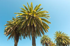 Пальмы - совершенные пальмы против красивого голубого неба Стоковое Фото